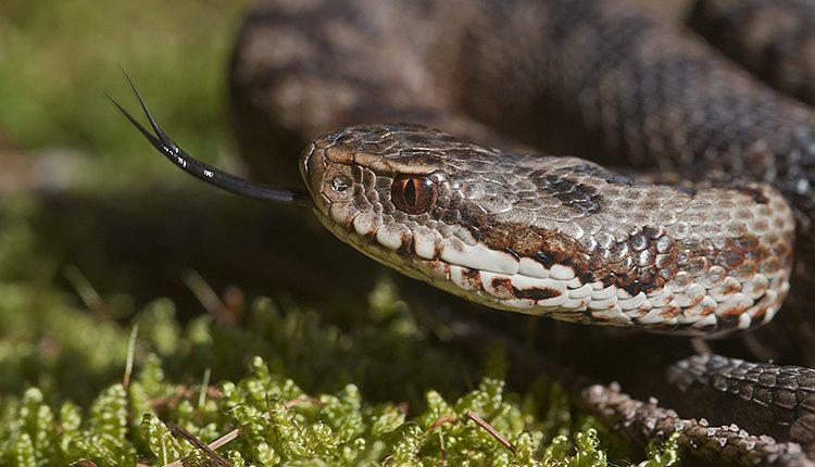 serpenti pericolo per i cani